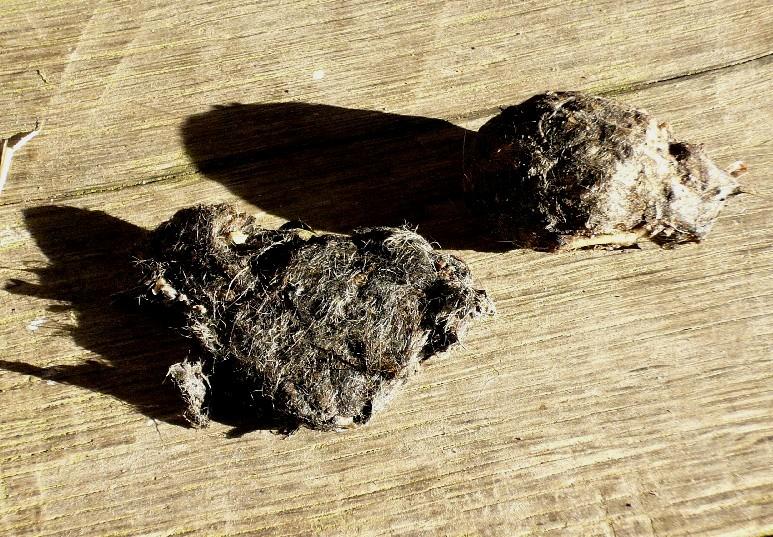 barn owl pellets resized