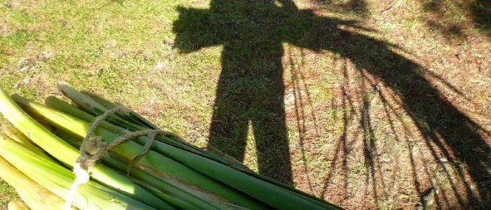 foraging bulrush for basketry